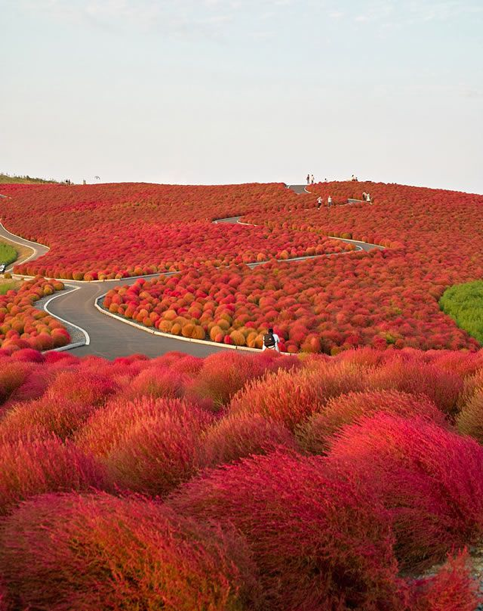 Hitachi Seaside Park  Japón
