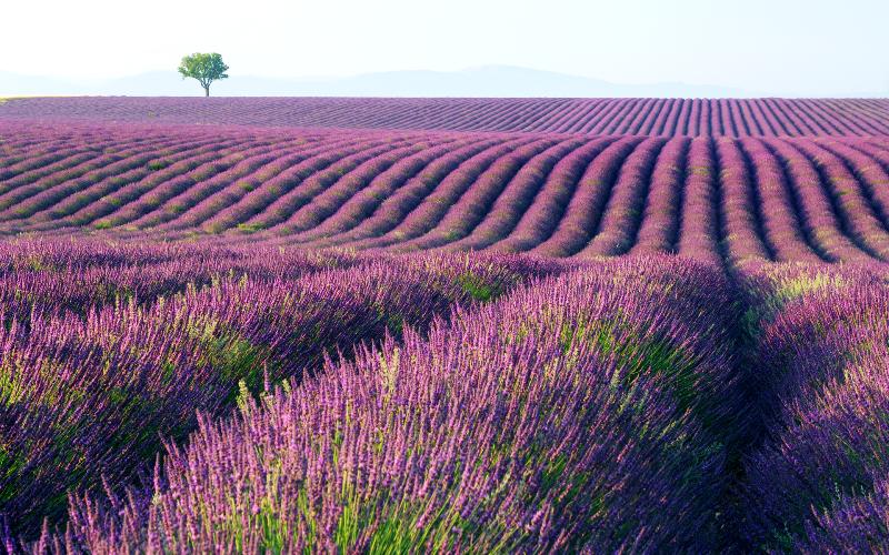 campos de lavanda francia