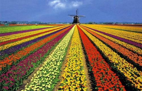 campos tulipanes holanda