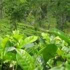Cuales son los beneficios del Te verde y cuales son sus propiedades