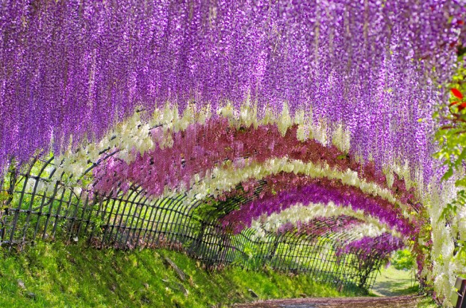 Wisteria tunel de flores Japon